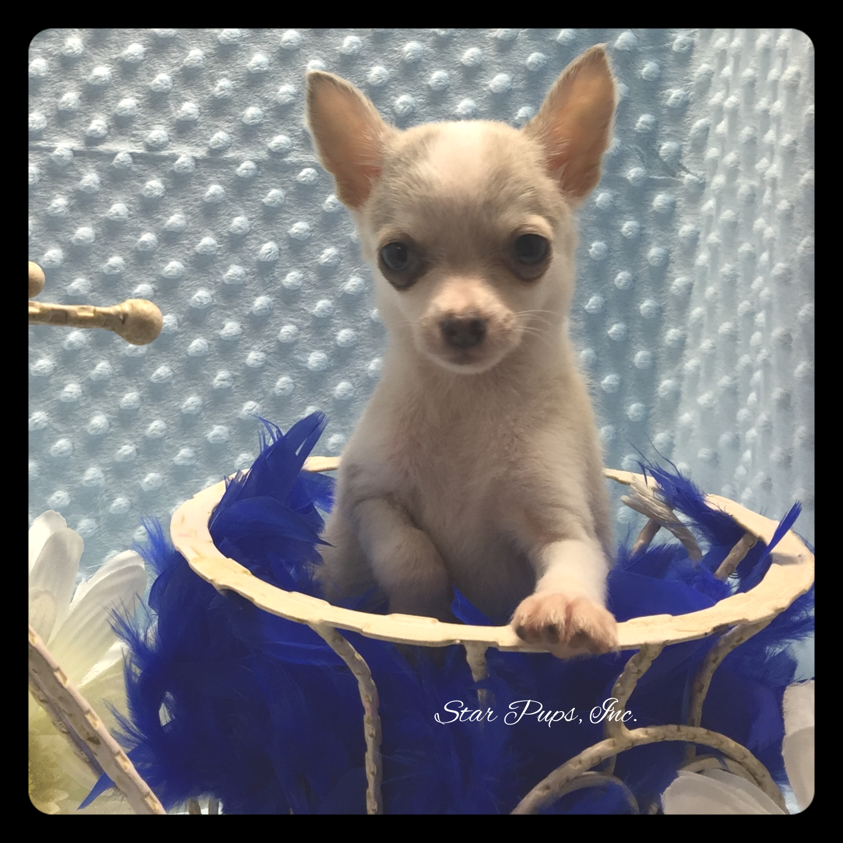Chihuahua M Blue Fawn Sold Star Pups