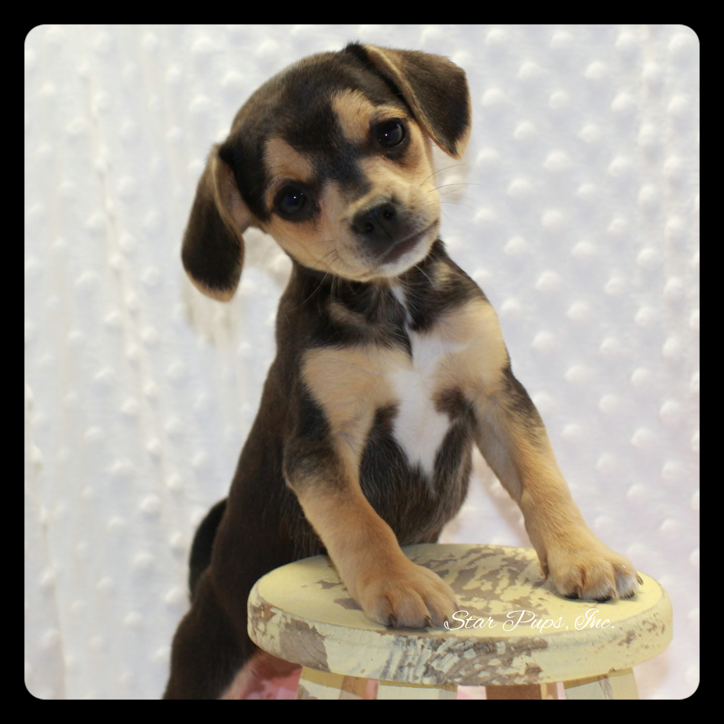 Puggle F Black/Tan – Sold | Star Pups
