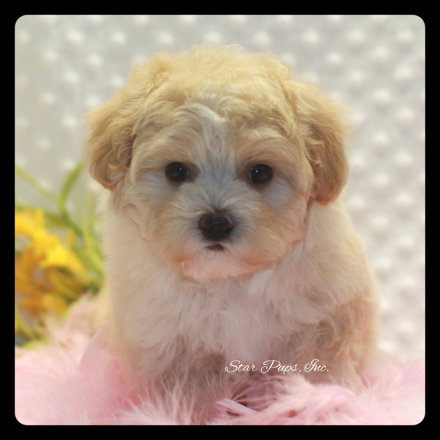 Maltipoo F Apricot White Sold Star Pups