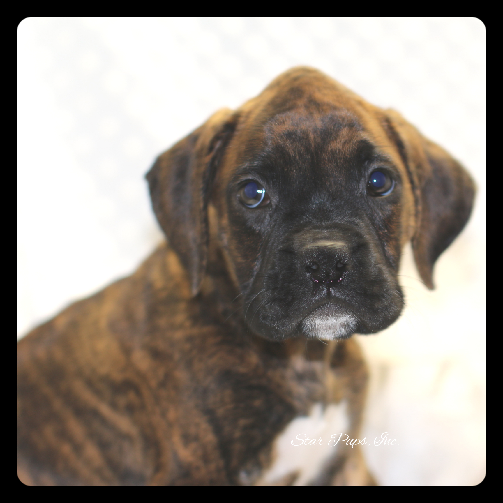 Boxer m brindle sold star pups for Brindle boxer