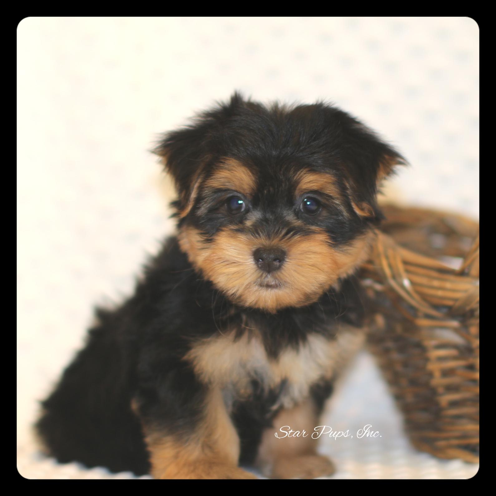 Morkie M Black Tan Sold Star Pups