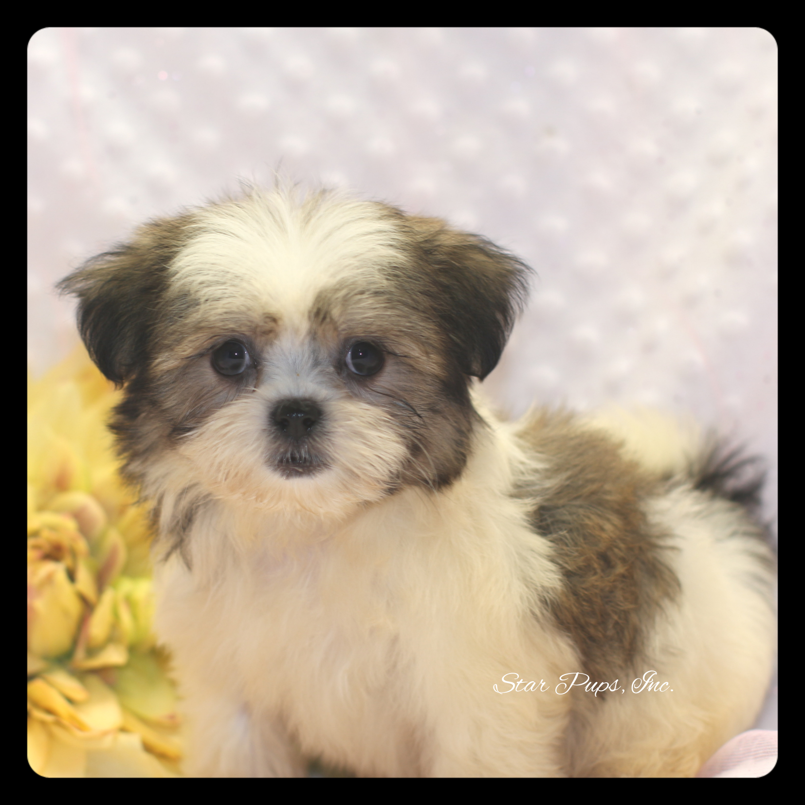 Shih Tzu F Brown/White – Sold | Star Pups
