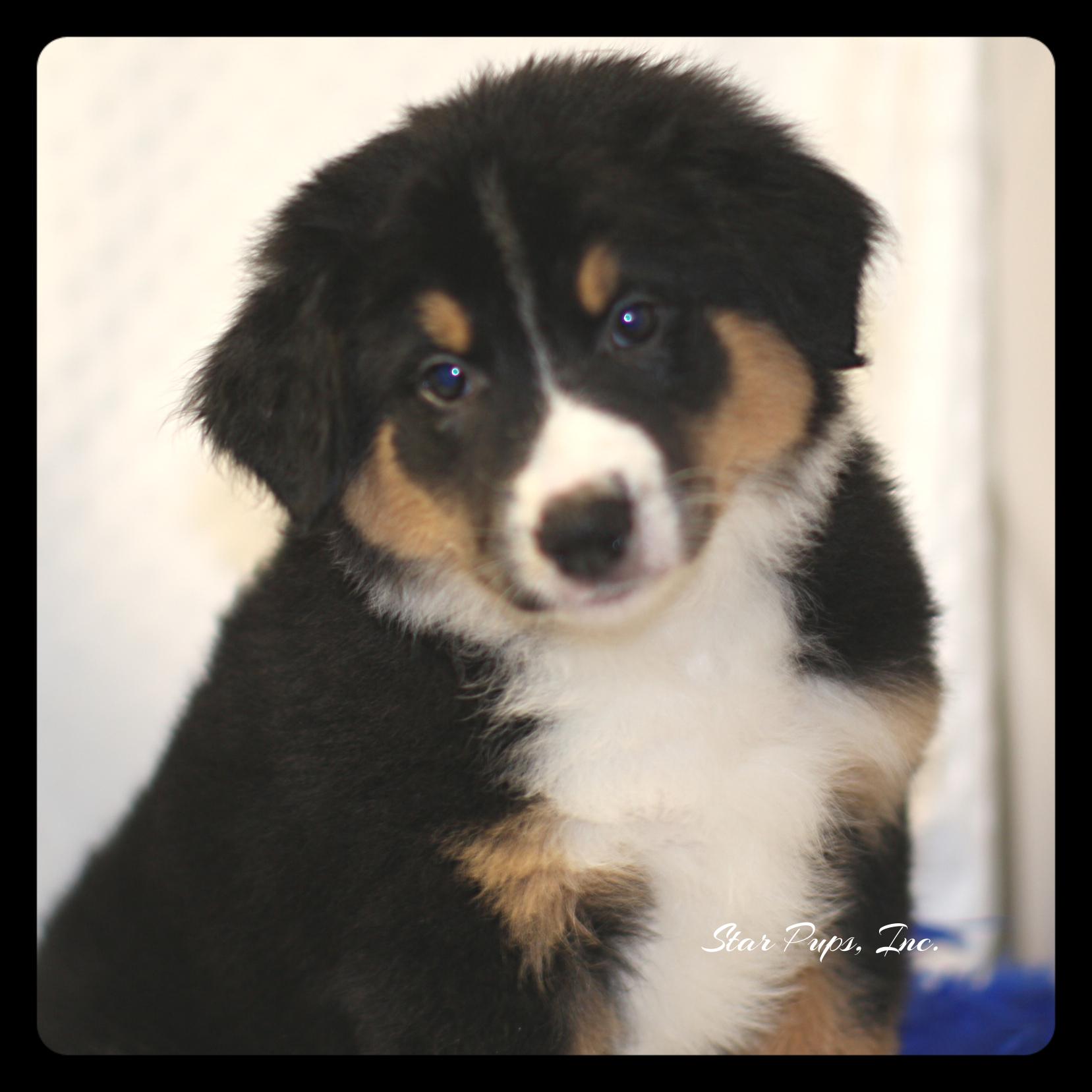 Australian Shepherd M Black Tan White Sold Star Pups