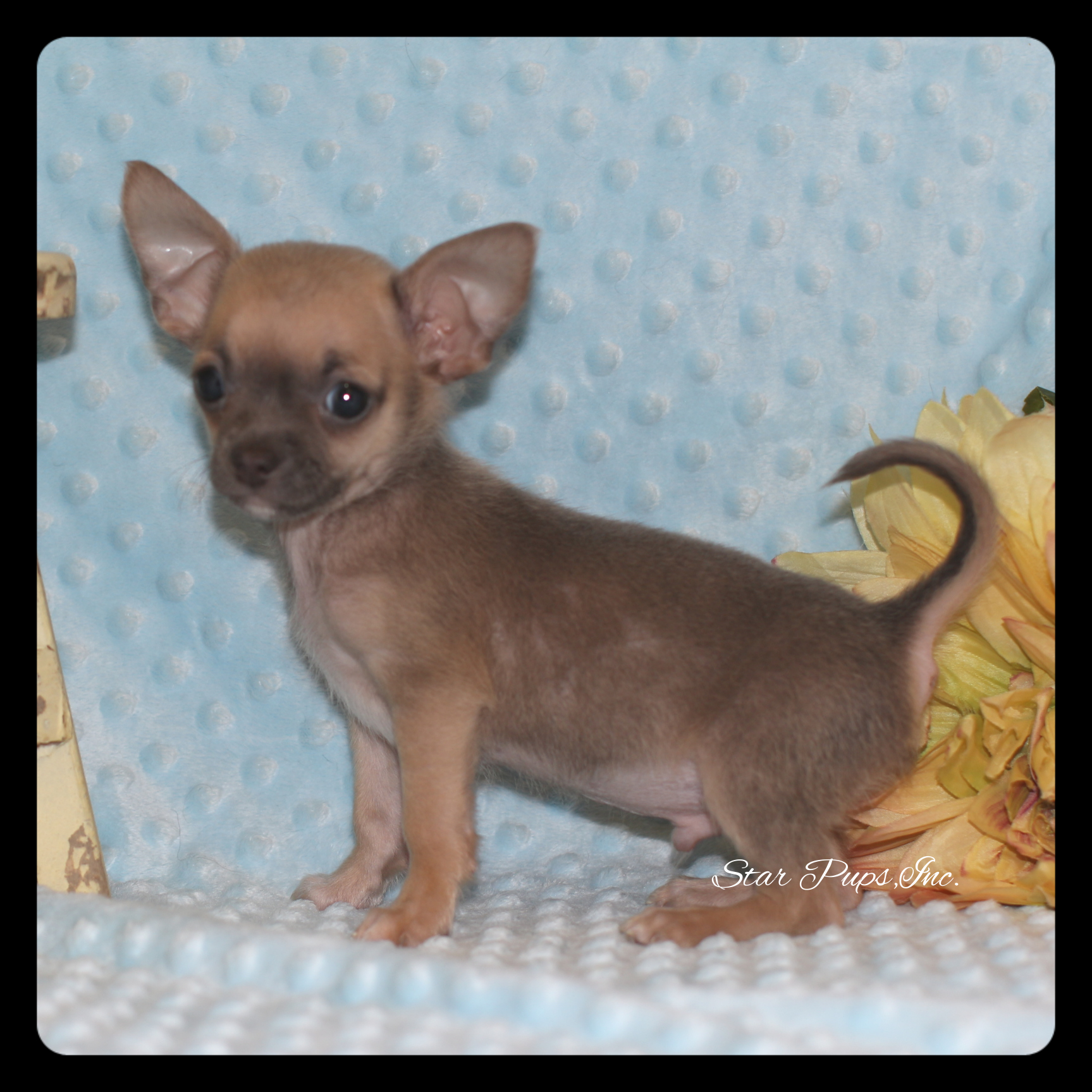 Chihuahua M Blue Fawn – Sold | Star Pups