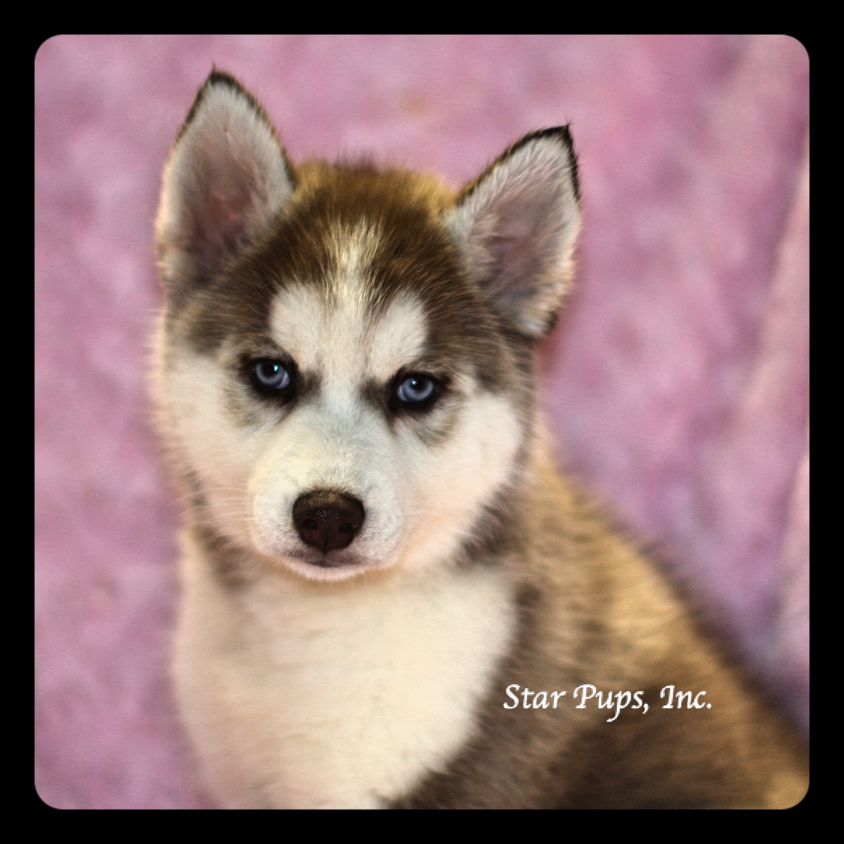 Siberian Husky F Red White Sold Star Pups