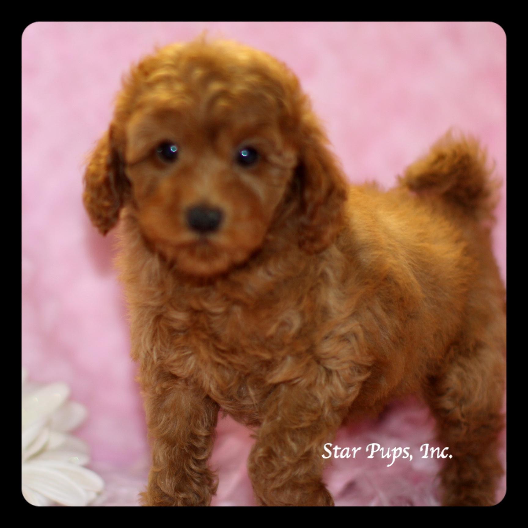Mini Labradoodle F Red – Sold | Star Pups