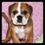 minibulldogF5242016#2