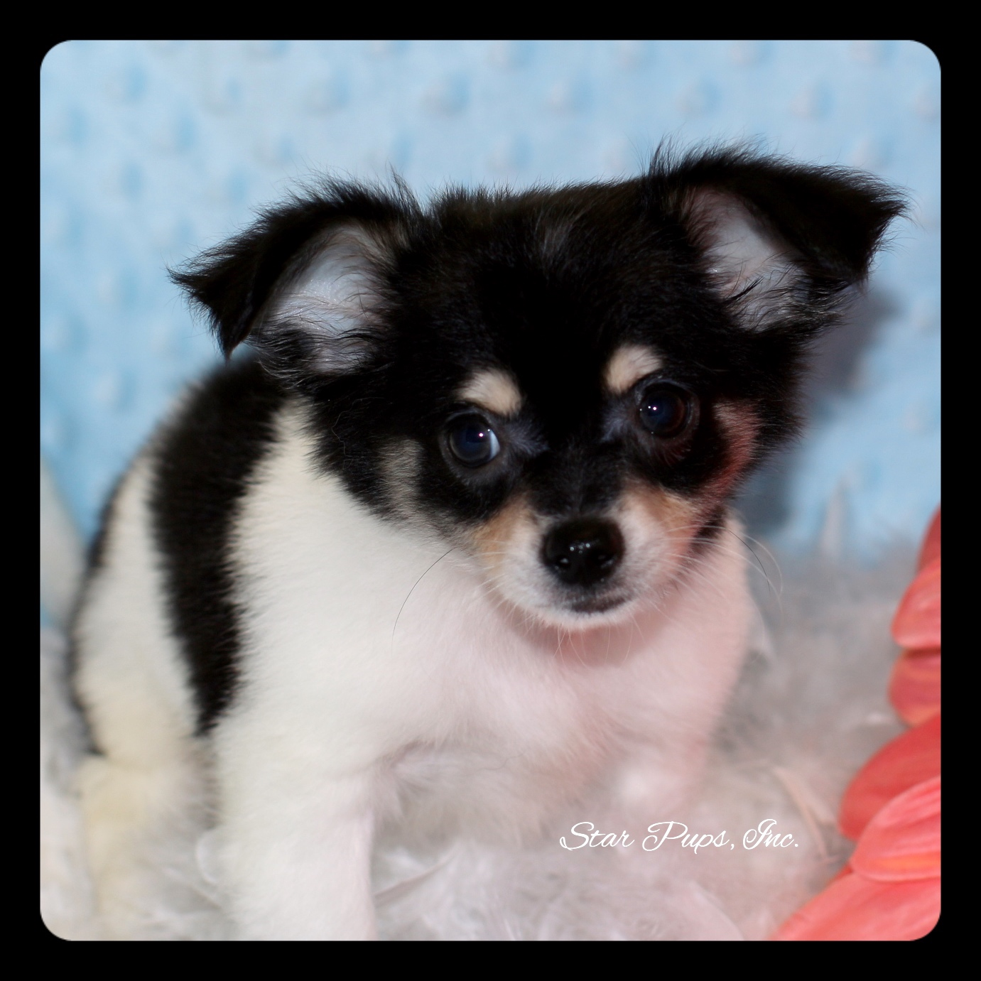 Chihuahua M Tricolor Sold Star Pups