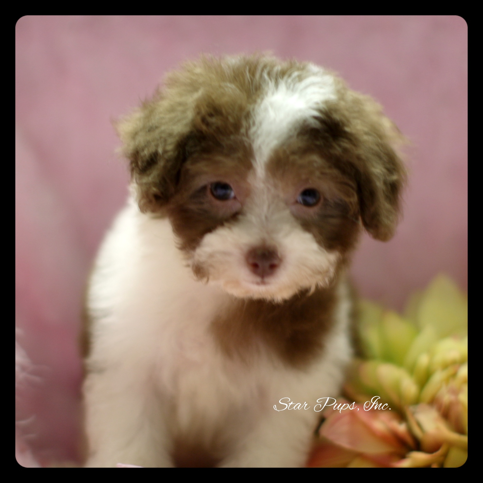 Toy Poodle F Chocolate Parti Sold Star Pups