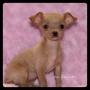 chihuahuaF8232016