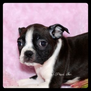 bostonterrierf9282016