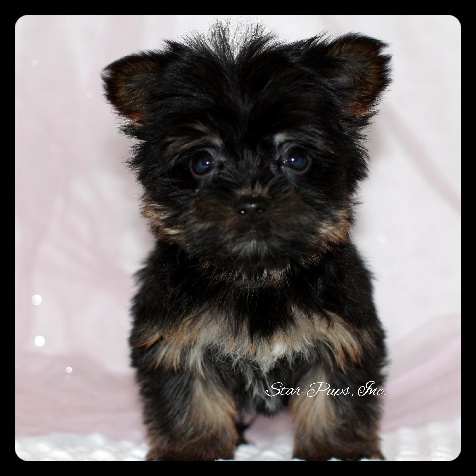 Morkie F Black Tan Sold Star Pups