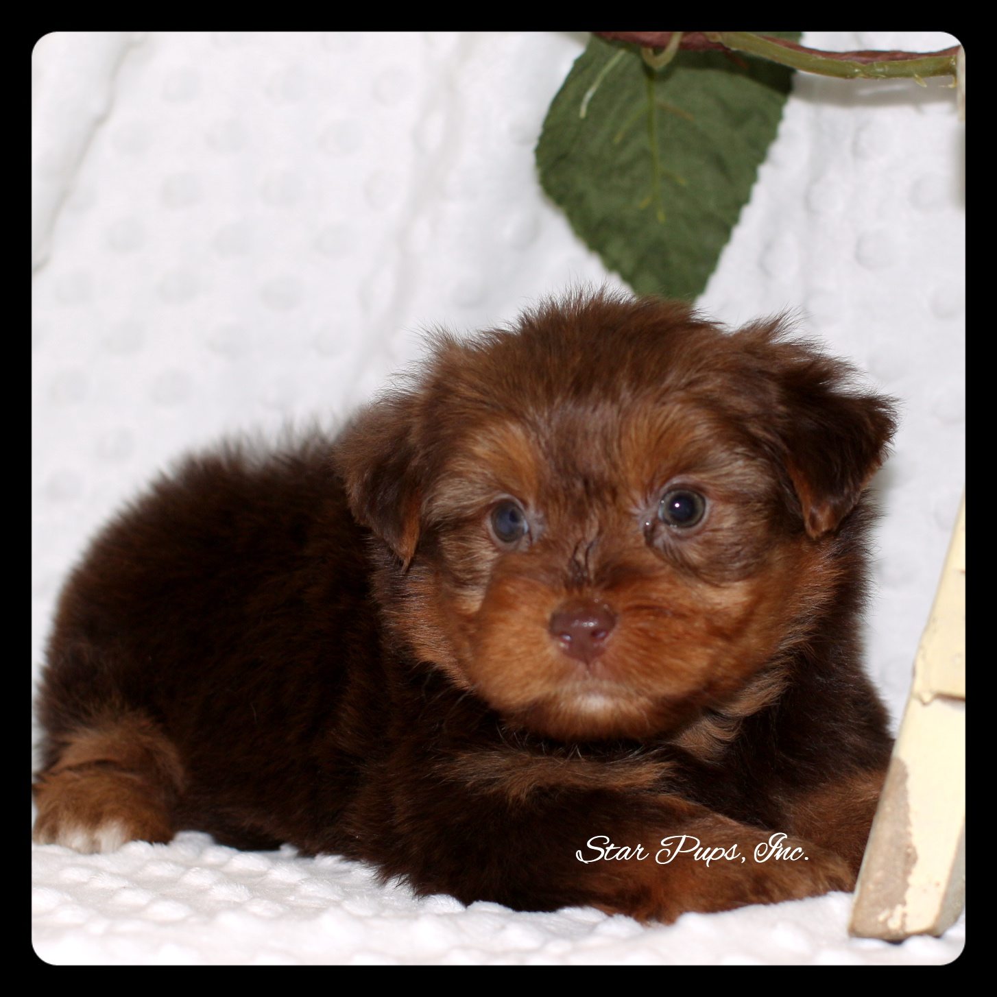 Yorkshire Terrier M Chocolate/Tan – Sold | Star Pups