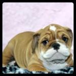 6172018victorianbulldog